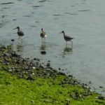 sandpipers at Garrison Bay